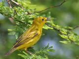 IMG_6055 Yellow Warbler.jpg