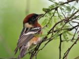 Z-IMG_7327 Bay-breasted Warbler.jpg