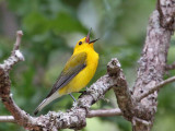 IMG_7403 Prothonotary Warbler.jpg