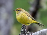 IMG_8820  Yellow Palm Warbler.jpg