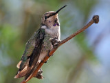 IMG_9591 Costa's Hummingbird.jpg