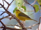 IMG_9664a Hooded Warbler female.jpg