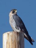 IMG_1550a Peregrine Falcon.jpg