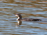IMG_5800a Pacific Loon winter plumage.jpg