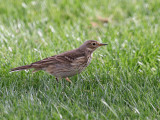 IMG_3198a American Pipit.jpg