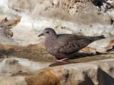 IMG_1345 Common Ground Dove.jpg