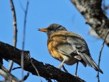 IMG_3382 Rufous-backed Robin.jpg