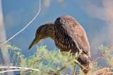 IMG_3599 Black-crowned Night Heron.jpg