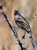 IMG_3883 Black-chinned Sparrow.jpg