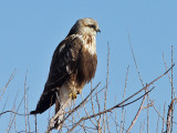 IMG_4886 Rough-legged Hawk.jpg