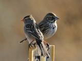 IMG_1542 sparrow - bunting.jpg