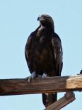 IMG_6353 Golden Eagle.jpg