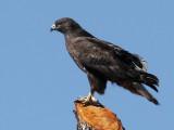 IMG_6553 Harlan's Red-tailed Hawk.jpg