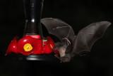 IMG_2696b Nectar Bat .jpg