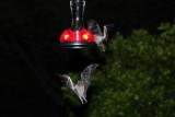 IMG_0241b Nectar Bat.jpg