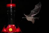 IMG_2123b Nectar Bat .jpg