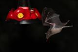 IMG_2684b Nectar Bat.jpg