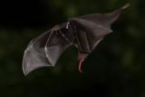 IMG_3401b Nectar Bat.jpg