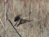 IMG_2096 Meadowlark.jpg