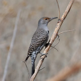 IMG_2227 Northern Flicker - red-shafted.jpg