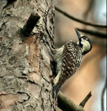 IMG_2967 Red-cockaded Woodpecker.jpg