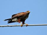 IMG_0968 Harris's Hawk.jpg