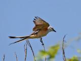 Flycatchers, Kingbirds  & Phoebes