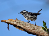 IMG_2518 Black-and-White Warbler.jpg