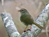 IMG_0680 Olive Sparrow.jpg