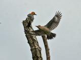 IMG_1171 Golden-fronted Woodpecker.jpg