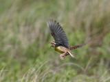 IMG_2257 Eastern Meadowlark.jpg