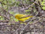IMG_1811 Yellow Warbler.jpg