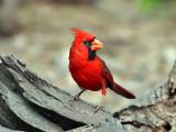IMG_0726 Northern Cardinal.jpg