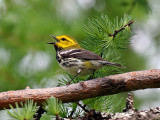 IMG_4803 Black-throated Green Warbler.jpg
