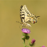 Koninginnenpage/Papilio machaon