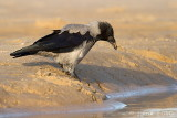 Bonte kraai/Hooded crow
