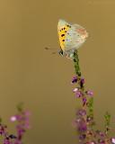 Kleine vuurvlinder/Lycaena phlaeas