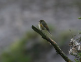 Northern Red-flanked Bluetail (Tarsiger cyanurus)