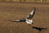 Greylag Goose (Anser anser) with Rook (Corvus frugilegus)
