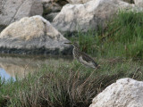 Indian Pond-Heron (Ardeola grayii)