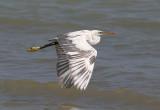 Western Reef-Heron (Egretta gularis schistacea)