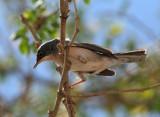 Menetries' Warbler (Sylvia mystacea)