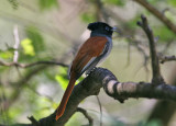 African Paradise-Flycatcher (Terpsiphone viridis harterti)