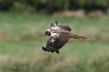 Eurasian Marsh Harrier (Circus aeruginosus)