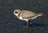 Ringed Plover (Charadius hiaticula)