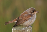 Red-backed Shrike (Lanius collurio)