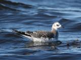 Sabines Gull (Larus sabini) - tärnmås