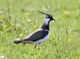 Northen Lapwing (Vanellus vanellus)