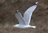Herring Gull (Larus argentatus) - gråtrut