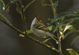 Pallas's Leaf Warbler (Phylloscopus proregulus)